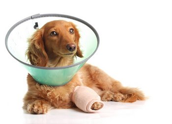 A dog with dog insurance heals from an ACL injury.