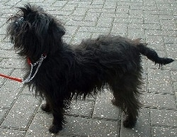 Affenpinscher dog breed.