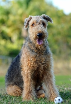 An Airedale Terrier with pet insurance from Pets Best.