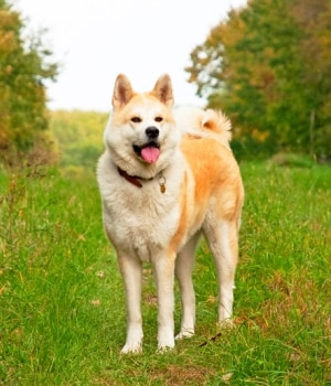 An Akita with pet insurance from Pets Best.