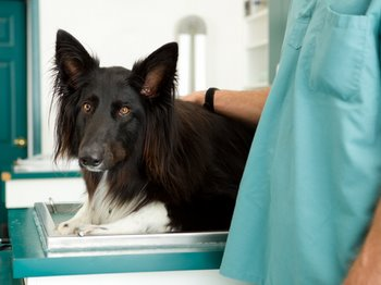 A dog with dog insurance who has ingested antifreeze is cared for by a vet.