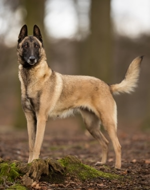 A Belgian Malinois dog with pet insurance from Pets Best.