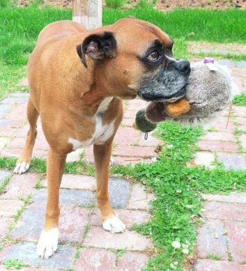 a boxer dog named Bella plays outside with her duck toy.