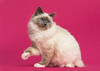 A Birman breed of cat with pet health insurance.