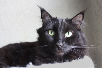 A black cat without pet health insurance waits to be seen by the vet.
