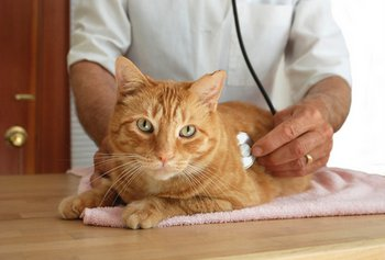 A cat with pet health insurance is checked by a veterinarian.