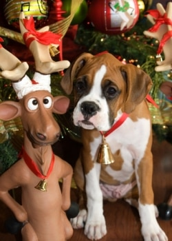 A boxer puppy insured with Pets Best ate a glass ornament.