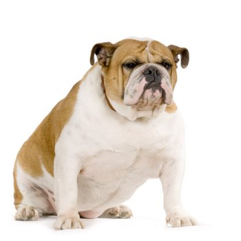 An English Bulldog with pet health insurance sits on the ground.