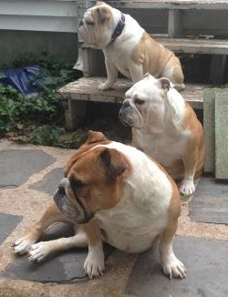 Three bulldogs sit outside, their names are cannoli, bagel and muffin.