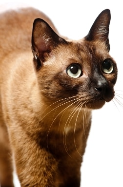 A Burmese cat with pet insurance from Pets Best.