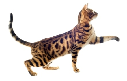 A California Spangled cat with pet insurance from Pets Best.