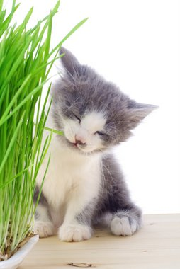 A kitten with pet health insurance chews on a piece of grass.