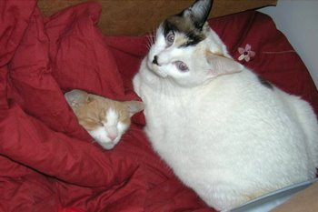 Two cats with cat insurance cuddle under a blanket.