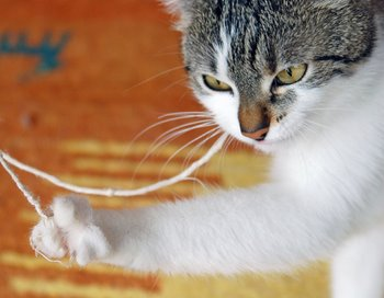 A cat with cat insurance plays with string.
