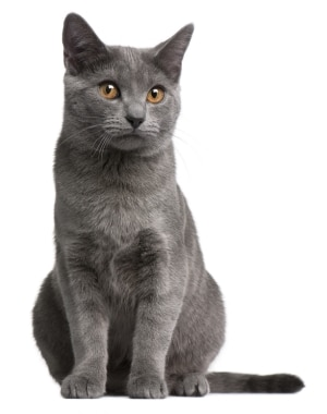 A Chartreux cat with pet insurance from Pets Best.