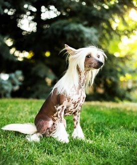 A Chinese Crested dog with pet insurance from Pets Best.