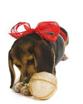 A Christmas dog with pet insurance plays with a decoration.