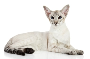A Colorpoint Shorthair cat with pet insurance from Pets Best.