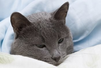 A cat with cat insurance recovers in a bed.