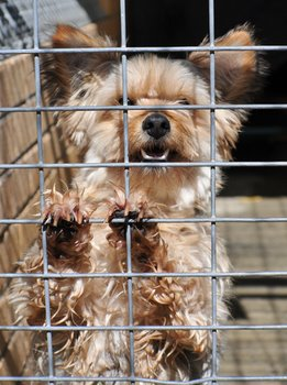 A Yorkie with pet insurance sits in a crate.