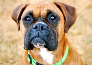 A Boxer dog, cancer commonly affects Boxers.