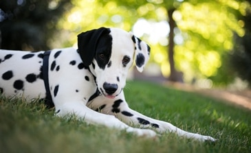 A Dalmation dog with pet insurance from Pets Best.