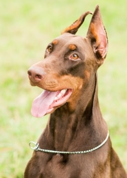A brown and fawn doberman pinscher dog stands outside.