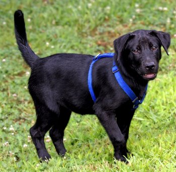 A black Labrador Retriever puppy wears a bright blue harness.