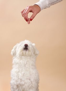 A dog with dog insurance eats a treat.