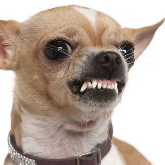 A dog pet health insurance growls and shows his teeth.