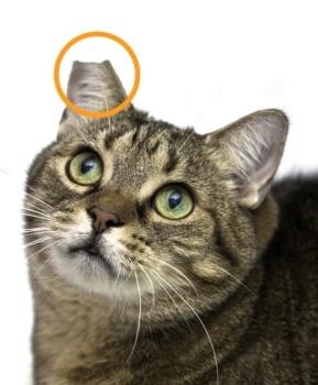 Cat Left Ear Tipped