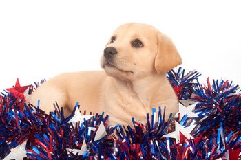 A puppy sits happily in red, white and blue decorations.