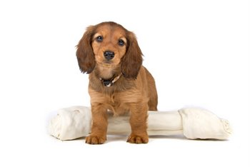 A Dachshund without dog insurance plays with a bone.
