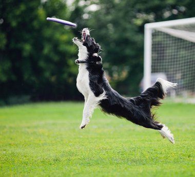 A dog with pet health insurance jumps to catch a frisbee in his mouth.