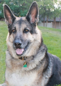 Baron, a German shepherd insured with Pets Best since 2011 sits outside.