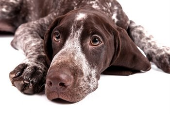A German Short Hair Pointer with pet insurance looks at the camera.