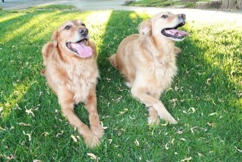Lewis and Clark, Golden retrievers insured with Pets Best since 2008 lay in the grass.