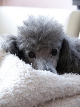 A Poodle with pet insurance relaxes on a blanket.
