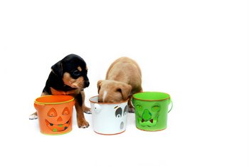Two puppies with dog insurance sniff Halloween candy.