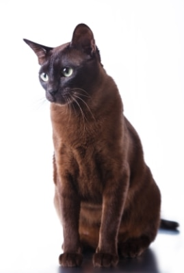 A Havana Brown cat with pet insurance from Pets Best.