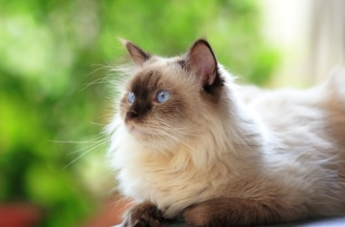 A Himalayan cat with pet insurance from Pets Best.