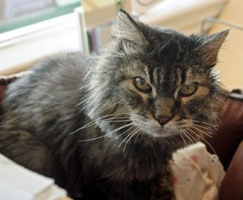 A senior cat suffering from hyperthyroidism and kidney disease.