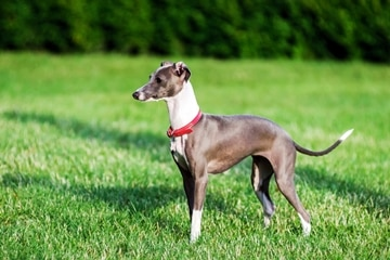 An Italian Greyhound dog with pet insurance from Pets Best.