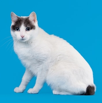 A Japanese Bobtail cat with pet insurance from Pets Best.
