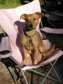 A dog with pet health insurance sits in a camping chair, wearing a leash.