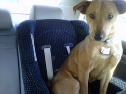 Jayda the adopted Carolina Dog happily sits in a baby car seat.