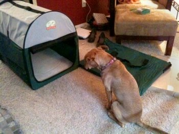 A dog with pet health insurance examines her new kennel.
