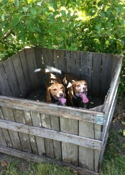 Two beagle dogs named JoJo and Ella pose for a picture in a wood crate under an apple tree.