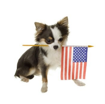 A dog with pet health insurance holds an American flag in his teeth.