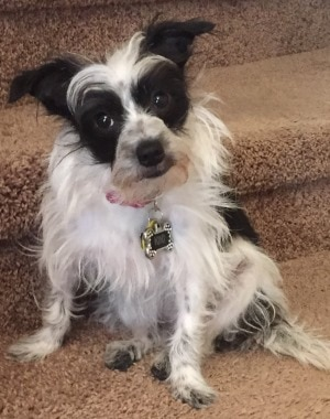 Kiki a miniature Schnauzer mix with pet insurance from Pets Best.